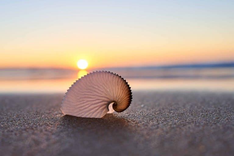 greater argonaut shell on the beach