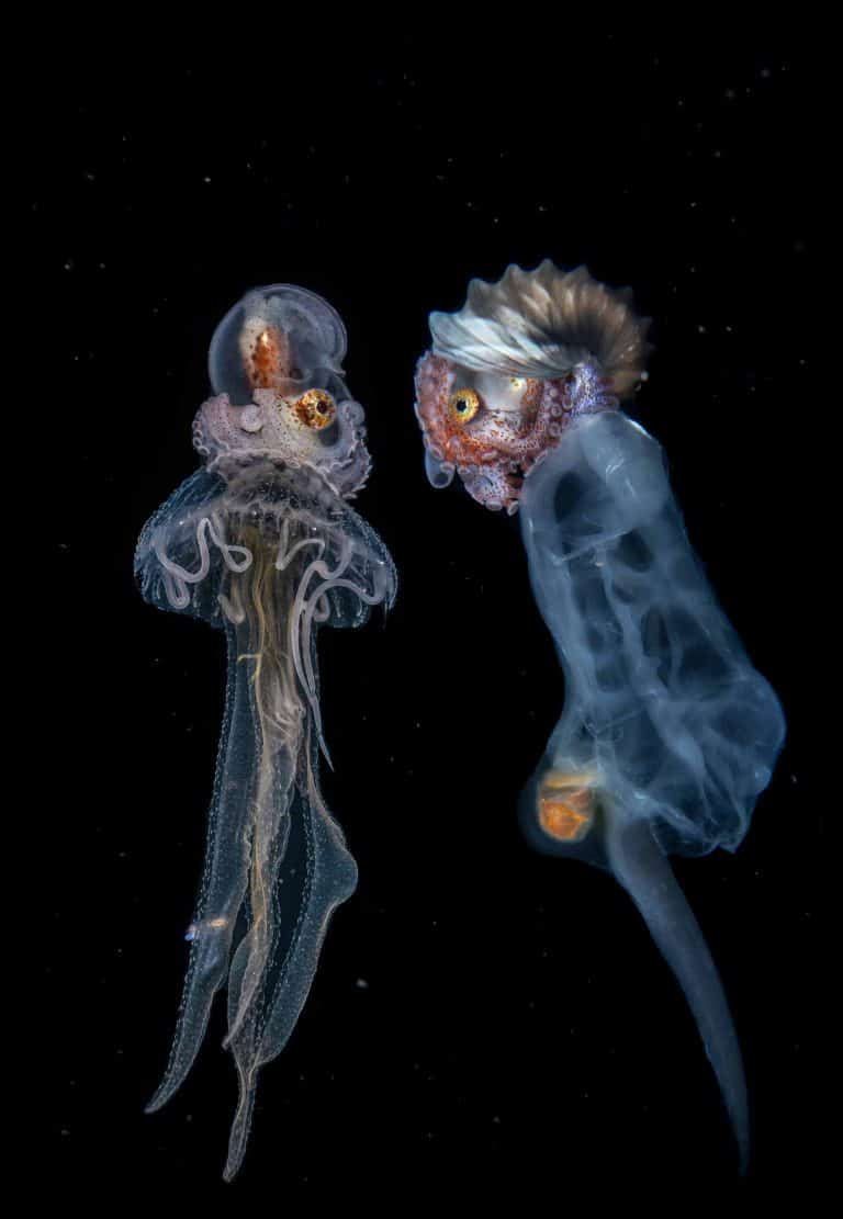 greater argonaut hitching a ride on a jelly