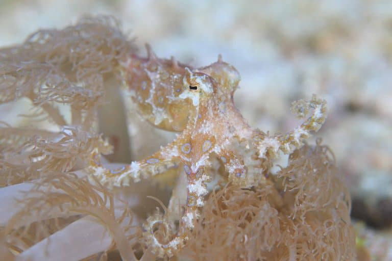 greater blue-ringed octopus