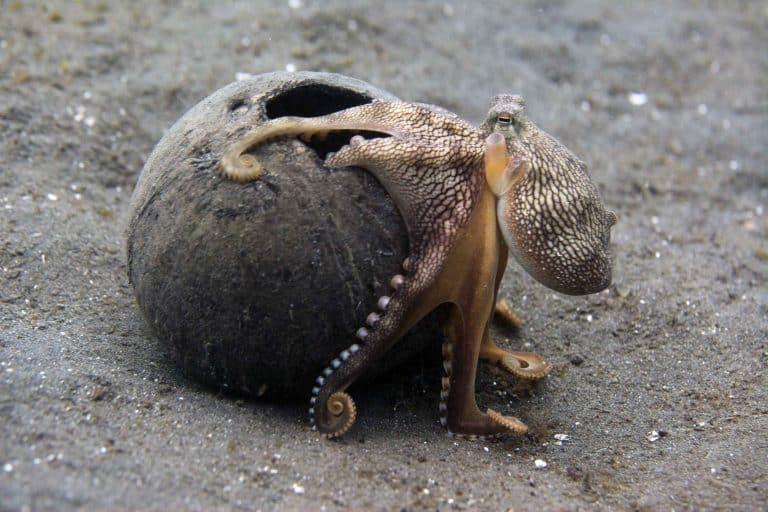 coconut octopus in coconut