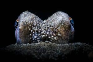 coconut octopus closeup