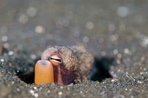 coconut octopus hiding in sand