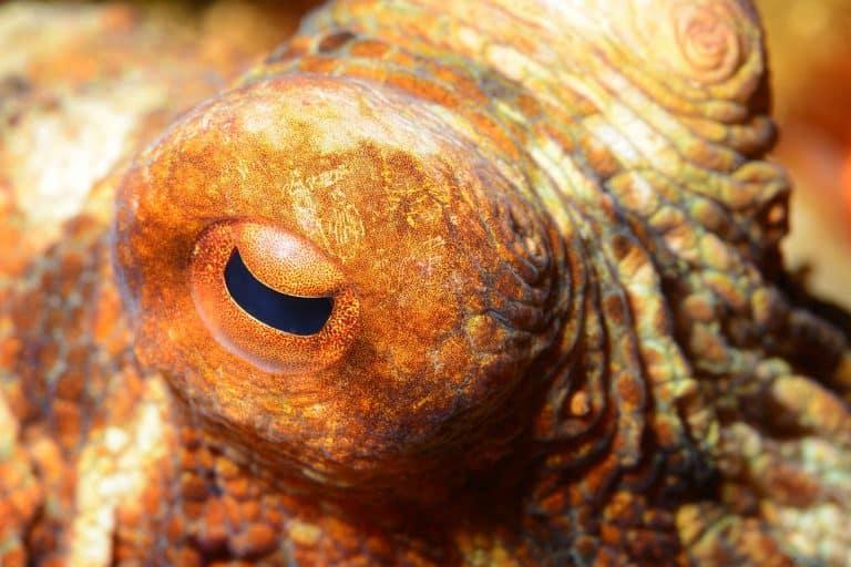 common octopus closeup