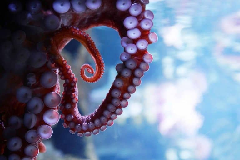 giant pacific octopus arms