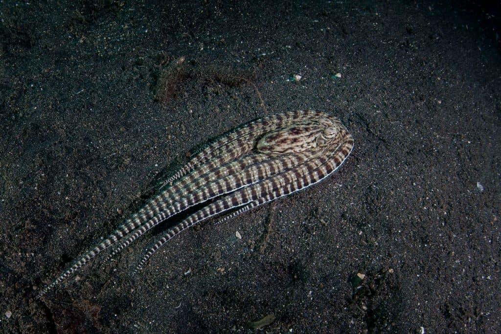 mimic octopus imitating a flounder