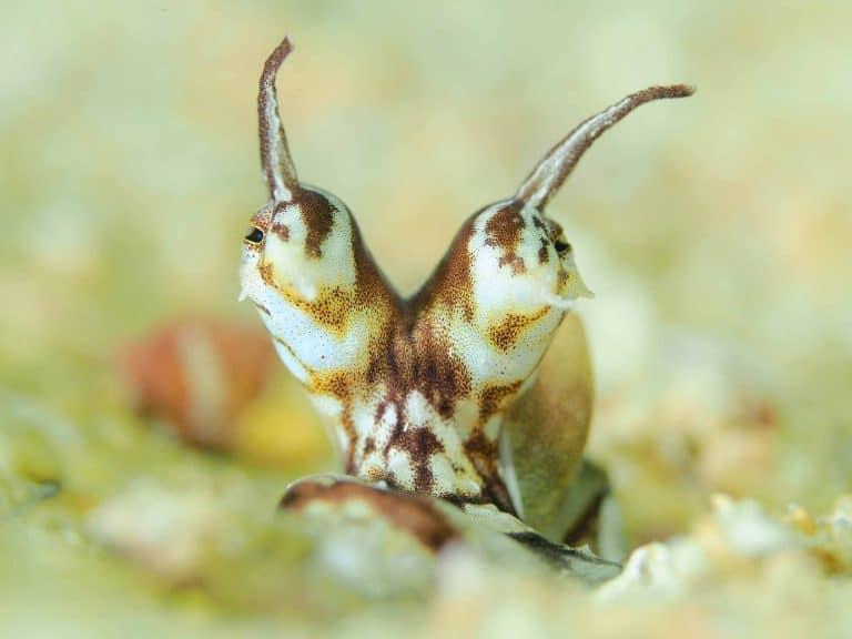 closeup of mimic octopus