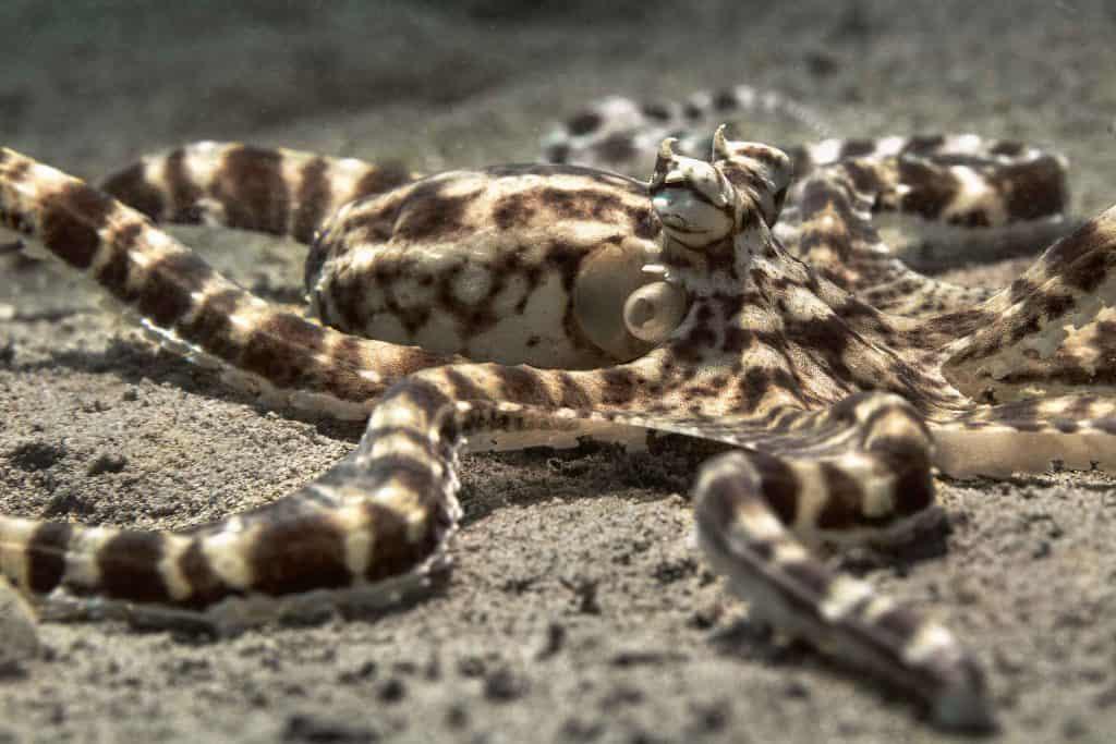 mimic octopus on ocean floor