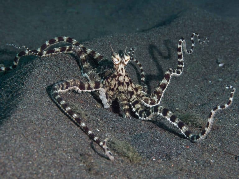 7 Fun Facts About The Majestic Mimic Octopus!