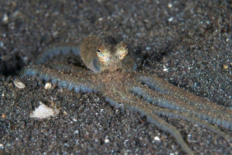 atlantic longarm octopus