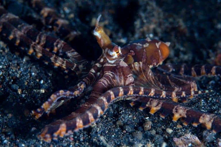 wunderpus on the ocean floor