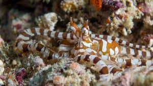 wunderpus in a reef