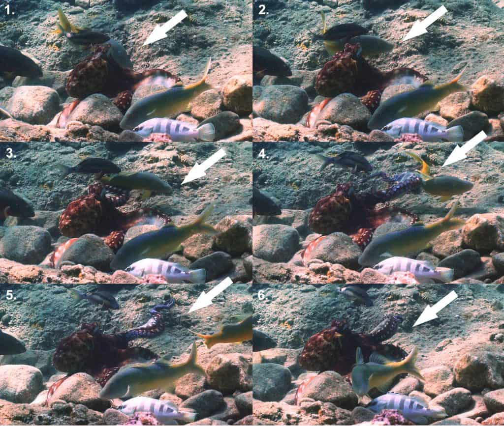 step by step vision of octopuses punch fish
