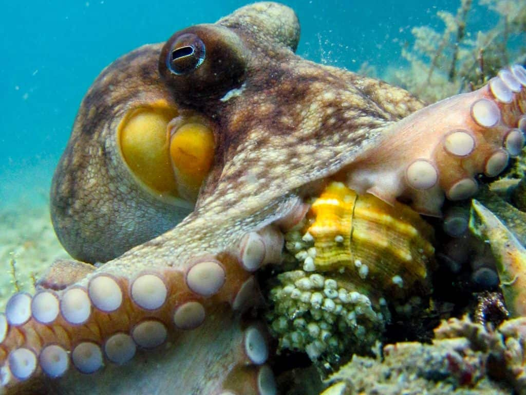 octopus drilling into a gastropod