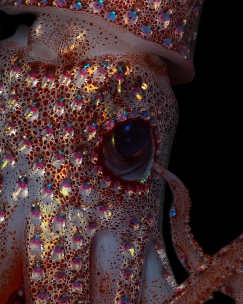 upclose shot of strawberry squid and its asymmetrical eyes.