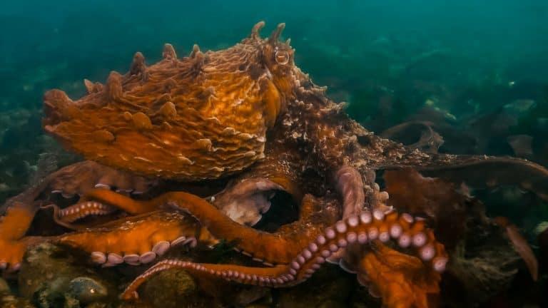 Giant Pacific Octopus (Enteroctopus dofleini) walking along the ocean floor in British Columbia