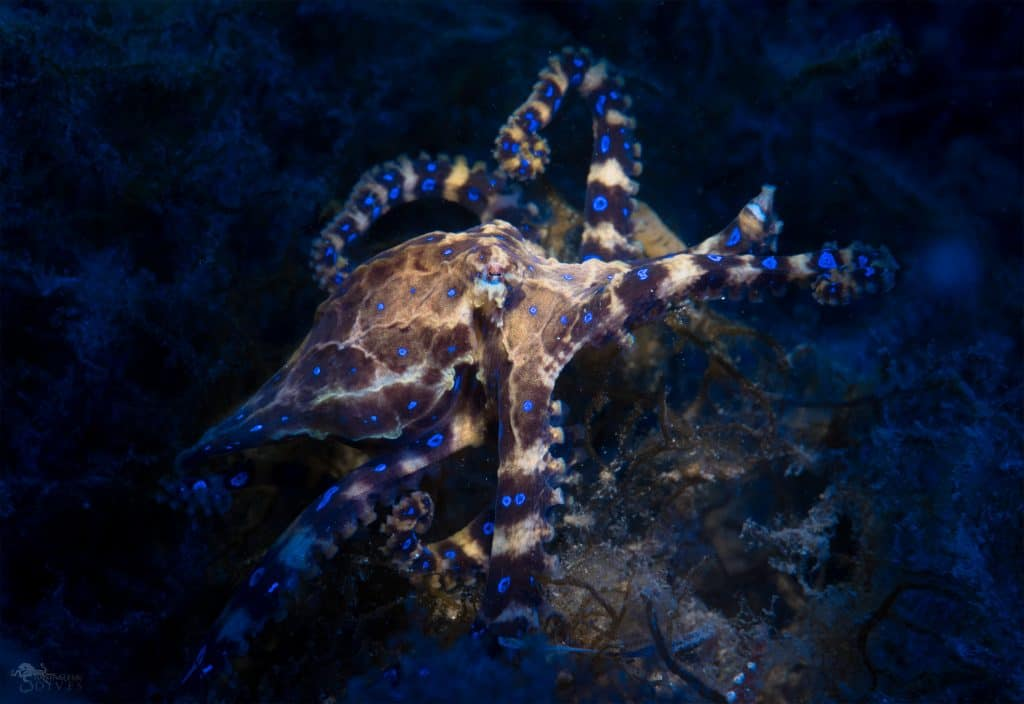fun facts about the blue-ringed octopus venom bite