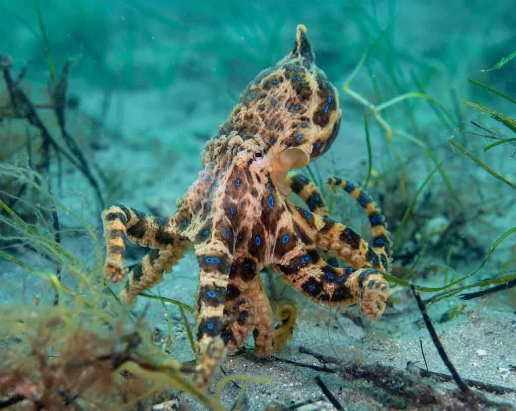 Vivid blue ringed octopus