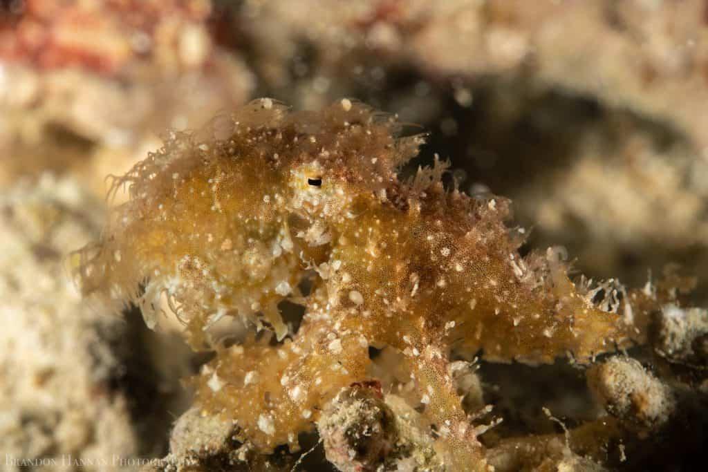creamy colored hairy octopus closeup