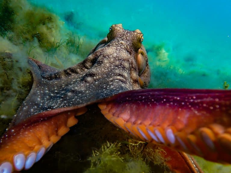 Maori Octopus Facts: One Of New Zealand's Largest Species!