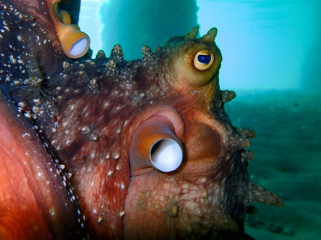 side eye from the maori octopus