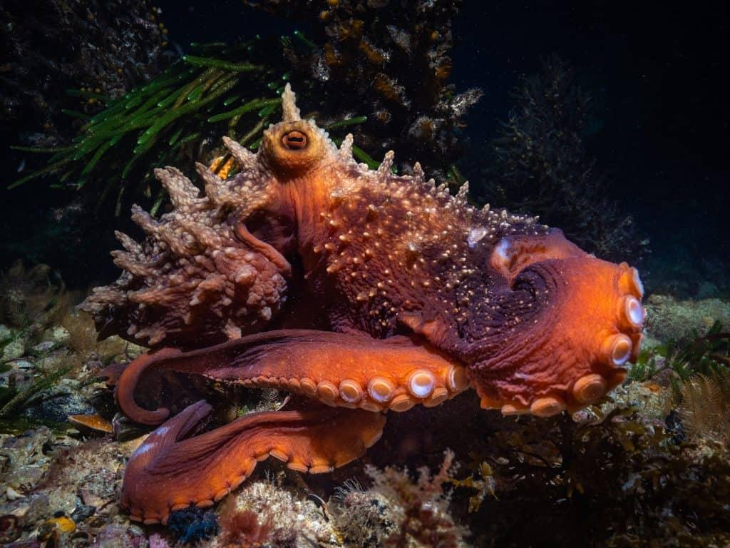 a maori octopus flexing its skin spikes papillae