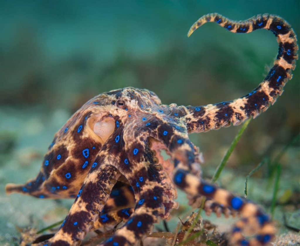 blue-ringed octopus curling tentacle
