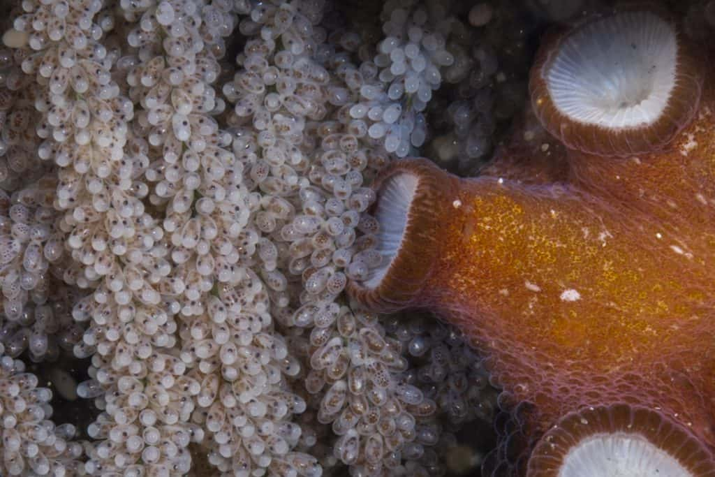 how do octopus give birth: Octopus braiding eggs into festoons