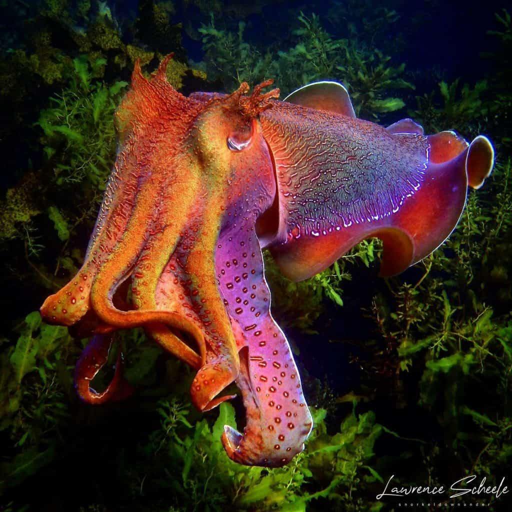 cuttlefish showing rainbow chromophores