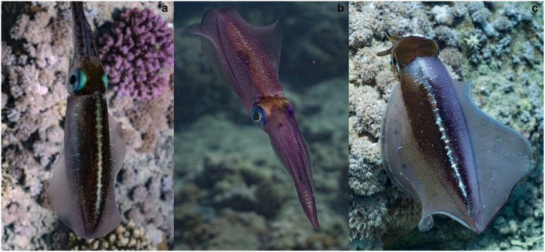 House Hunters: Squid Edition! (Male Squids Search For Dwelling)