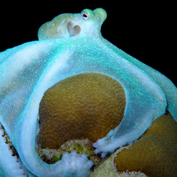 Caribbean Reef Octopus Canvased on Coral