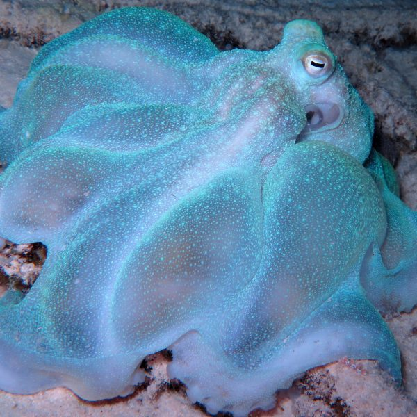 teal octopus briareus canvasing and foraging coral to feed