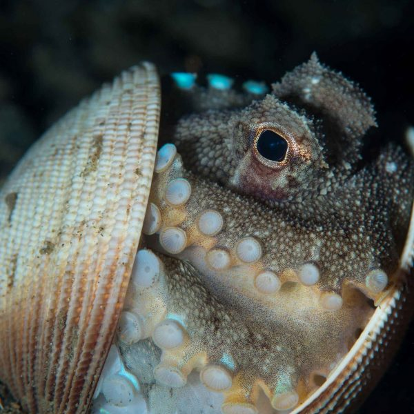 coconut octopus in shell