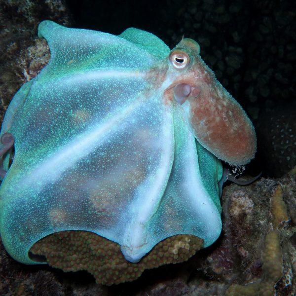 Caribbean reef octopus looking for food